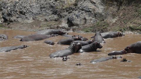Hippos 1
