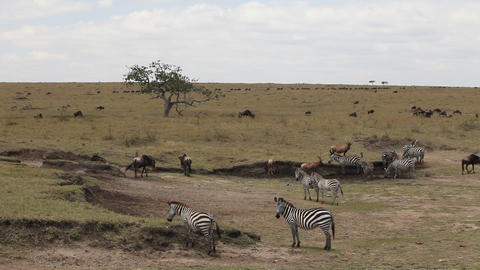 Zebras 0