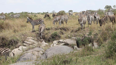 Migration Of Zebras and Wildebeest Footage