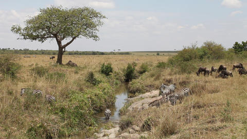 Herd of zebra crossing the river Footage