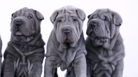 Four Shar Pei Puppies Sitting in the Studio Footage
