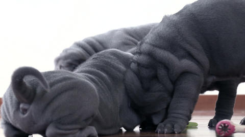 Shar Pei Pups Playing With A Rag stock footage