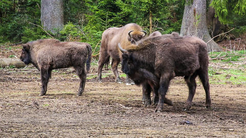 Bison stock footage