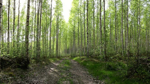 Small road in birch forest with light green leaves Footage