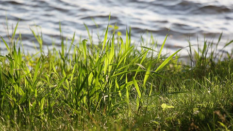 Green Grass Growing At Lakeside stock footage