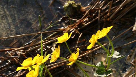 Kingcup flower on lakeside Footage