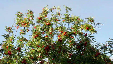 Treetops of rowan tree waving in the wind Footage