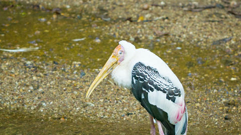Yellow-billed stork (Mycteria ibis) Footage