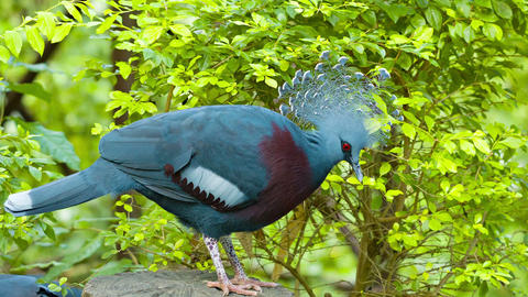Victoria Crowned Pigeon Live Action
