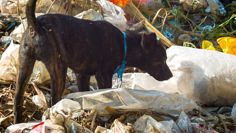 Stray dog looking for food in the dump Footage