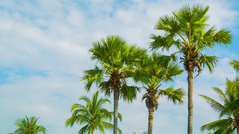 Tropical palm trees on sky background Footage