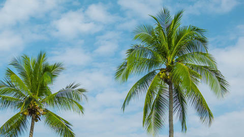 Coconut palms swaying on sky background Footage