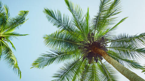 The tops of coconut palms on sky background Footage