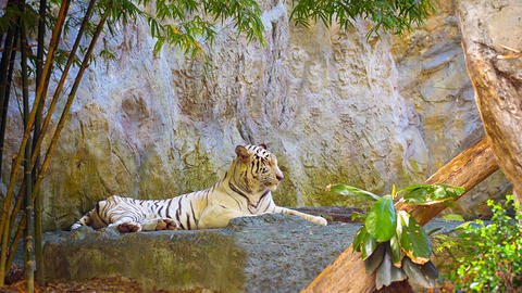 Tiger resting on a rock Footage