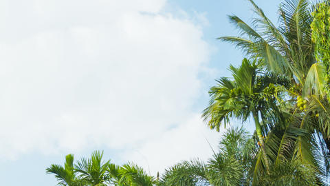The tops of tropical trees swaying against the sky Footage