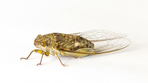 Cicada on a white background Live Action