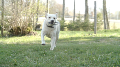 A running labrador with a ring Footage