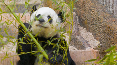 Panda eats bamboo leaves Footage