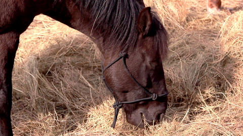 A brown horse munching some grasses Footage