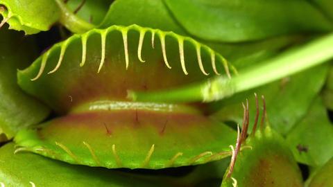 Closing Venus Flytrap (Dionaea Muscipula) Plant UH stock footage