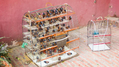 Caged birds for sale (Black-headed Munia). Phnom P Footage