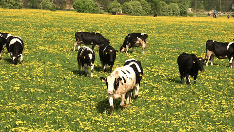 Lots of black and white cows walking on the field  Footage