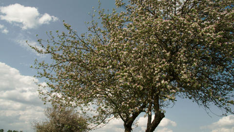 An apple tree with no fruits FS700 4K Odyssey7Q Footage