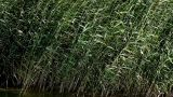 Sedge stock footage
