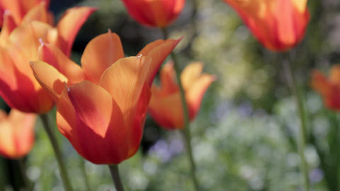 Montage of Tulip shots Stock Video Footage