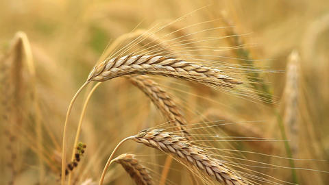 grain field Stock Video Footage