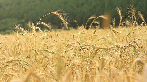 grain field Footage