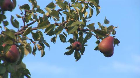 pear 3 Footage