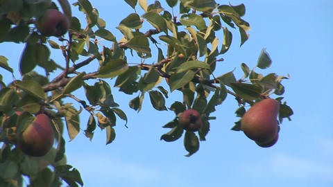 pear 3 Stock Video Footage