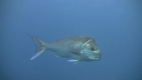 Snapper Footage