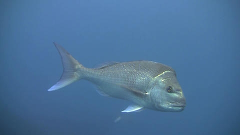 Snapper Stock Video Footage