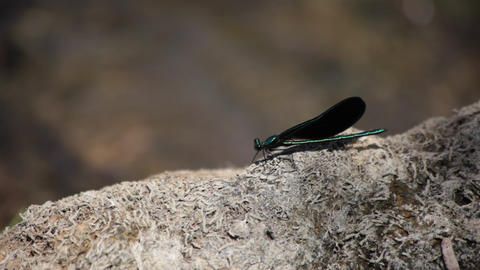 Black damselfly Footage