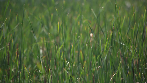 Swaying grass Stock Video Footage