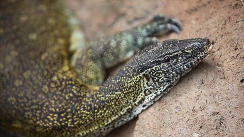Nile Monitor Lizard Stock Video Footage