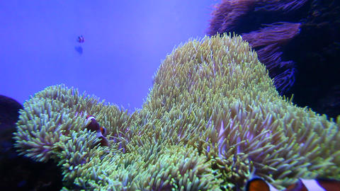 Anemone Stock Video Footage