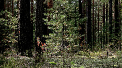 Forest Pine stock footage
