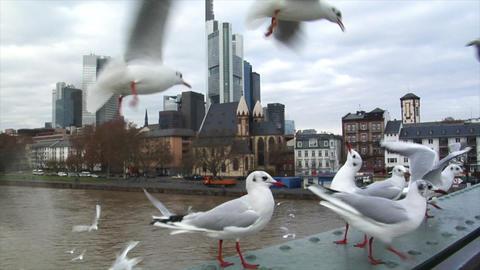 seagulls close frankfurt skyline slowmo Stock Video Footage