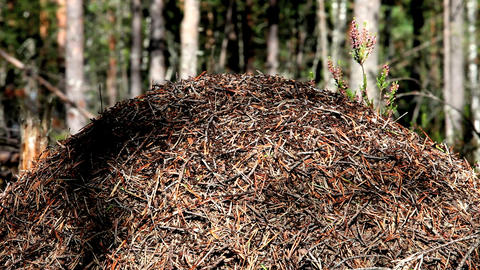 anthill Stock Video Footage