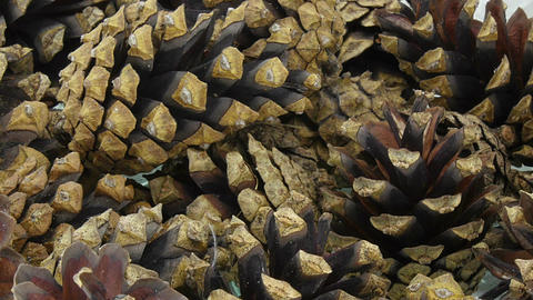 Time-lapse of opening pine cones on a plate, 12a1 Footage