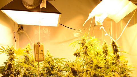 Indoor Marihuana Hydroponic system Stock Video Footage