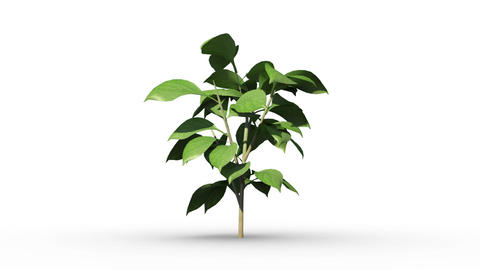 Green plant growing on white background Animation