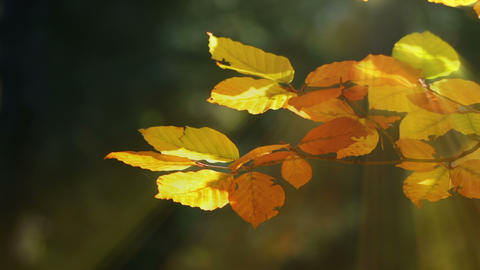 Autumn Beech Leaves and Sun Rays Footage