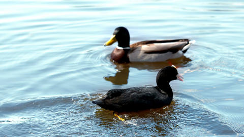 Two ducks swimming in a lake Footage