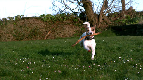 Cute Terrier Running With A Stick In The Countrysi stock footage