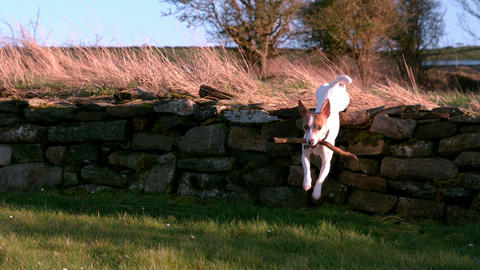 Cute terrier running with a stick in the countryside Footage