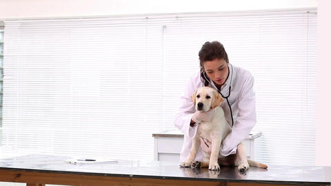 Vet Checking A Yellow Labrador Puppy stock footage